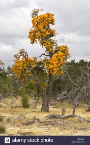 australian native plants perth western australian christmas trees nuytsia floribunda growing in