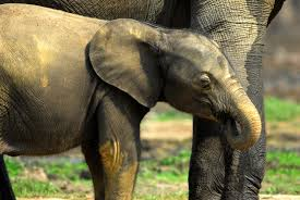 the fate of forest elephants andrea turkalo shares her