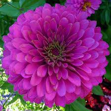 zinnia flowers zinnia magenta zinnia zinnia fantastic florals