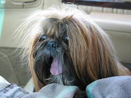 haircuts for shih tzus males new page 1
