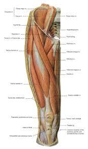Human Anatomy Muscle 96 Best Drawing Anatomy Images On Pinterest Human Anatomy