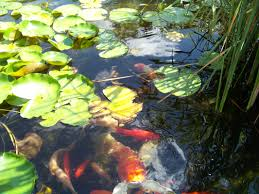 macomb u0026 oakland michigan mi koi goldfish u0026 pond fish