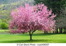 picture of pink flowering tree pretty pink flowering tree in