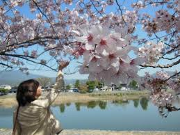 significance of cherry blossom traditions in