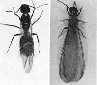 Winged Termites In Bathroom Urban Entomology Ebeling Chap 5 Part 1 Wood Destroying Insects