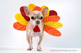let us give thanks for chihuahuas this year gobble gobble