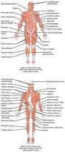 Human Anatomy Muscle Muscle Wikipedia