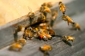 my backyard honey bees archives a healthy life for me