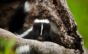 How Do You Get Rid Of Skunks In Your Backyard Get Rid Of Skunks In 5 Easy Steps