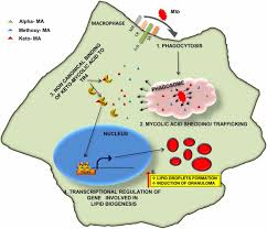 mycobacterium tuberculosis keto mycolic acid and macrophage