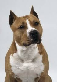 american pitbull terrier juen the 584 best images about dog gone dogs on pinterest tibetan