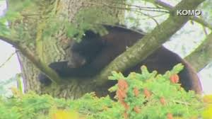 bear climbs tree near in washington abc7news com