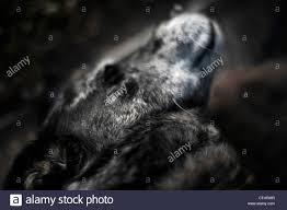 australian shepherd nose the nose and whiskers of an australian shepherd blue heeler dog