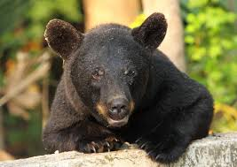 Louisiana wildlife images Black bear news louisiana department of wildlife and fisheries jp