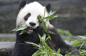4 weird dark things you should probably know about pandas the