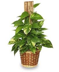 golden pothos basic plant care