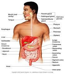 Human Anatomy And Physiology Case Studies Human Anatomy Physiology Digestive System Digestive System Anatomy