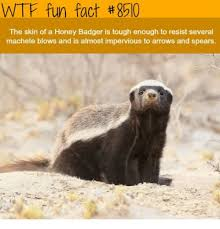 Honey Badger Memes - wtf fun fact 8510 the skin of a honey badger is tough enough to