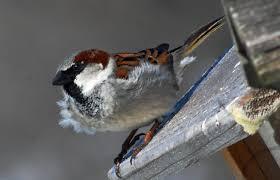 explore missouri house sparrow