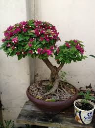 era nurseries buy trees online wholesale australian native bouganvilla bonsai con flores y frutos pinterest bonsai