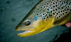 fly fishing 6 sight fishing tips for shallow water trout fly