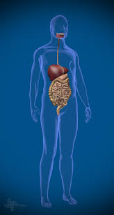 Human Anatomy Male 3d Human Anatomy Male On Behance
