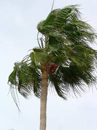 file palm tree blowing in the wind jpg wikimedia commons