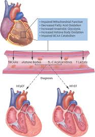 Heart Anatomy And Function The Emerging Role Of Metabolomics In The Diagnosis And Prognosis