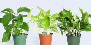 Vine House Plants 10 Best Indoor Plants For Your House Indoor House Plants To Buy