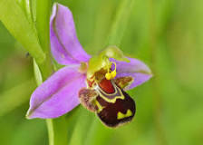 Image result for bee orchid
