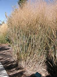 ornamental grasses enliven fall landscapes deseret news