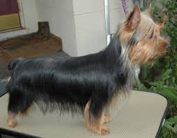 silky terrier with haircut tessier silky terriers brooksville cluster 1 13 1 16 11