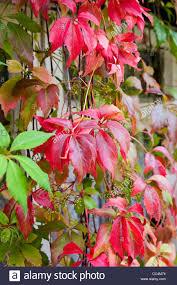 vibrant autumn colors virginia creeper climbing plant with window