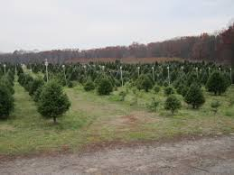 christmas trees giamarese farm u0026 orchards