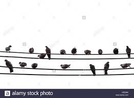 group of pigeon on an electric wire isolated on white background