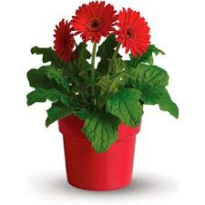 gerbera plant pot of gerbera potted plant gift