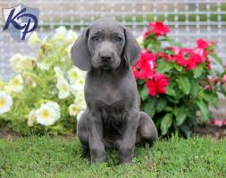 puppies for sale pa weimaraner puppies for sale in pa 24 wide wallpaper