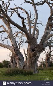 up of a dead oak tree essex uk stock photo 25341373 alamy