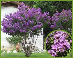 tree with purple flowers how to grow a crape myrtle in san diego