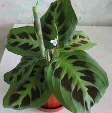 tropical house plants identifying common low light buy indoor