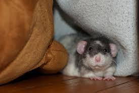 dumbo rex rats understanding pet fancy rats