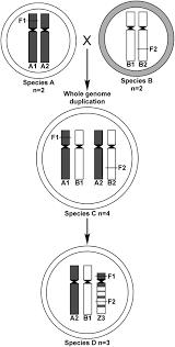 the origin of a u201czebra u201d chromosome in wheat suggests nonhomologous