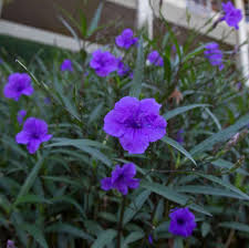 native plants of mexico gray the doomsday petunia houston chronicle