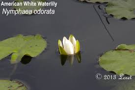 native water plants what florida native plant is blooming today daily photo of