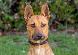 belgian sheepdog rescue california view ad carolina dog mix dog for adoption california el cajon usa