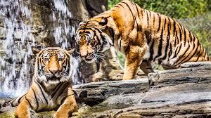 4k tigers hd wallpapers 4k
