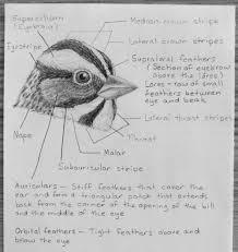 a little bird anatomy u2013 feather groups of the head u2013 myr u0027s bytes