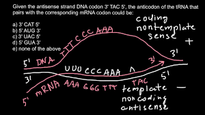 what is the sense and antisense strands of dna codon and