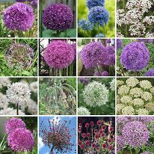 allium bulbs perennial flowering ornamental garden