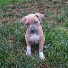 american pitbull terrier hound mix dog of the day roxie the pit bull terrier mix puppy the dogs of